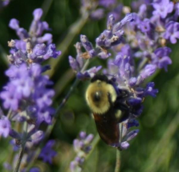 Lavender_bee