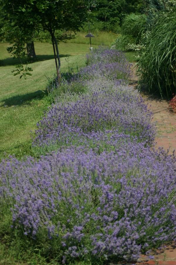 Lavender_all_3