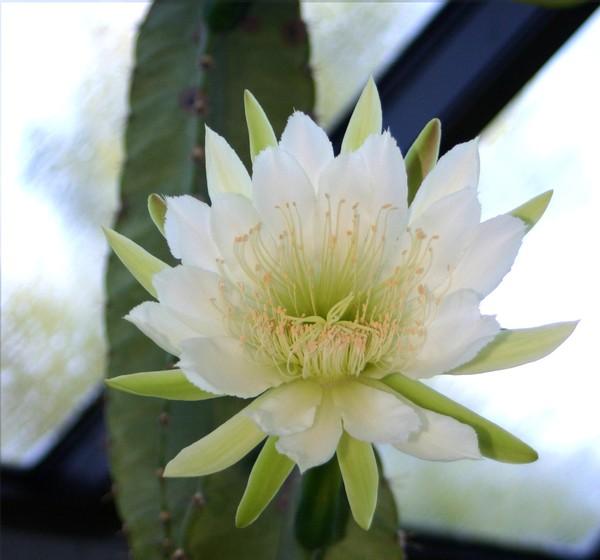 Cereus_bloom
